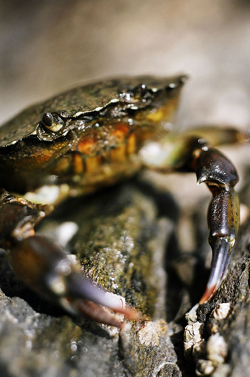 Crab on Rinn Ghearróige Island, by DaveBulow