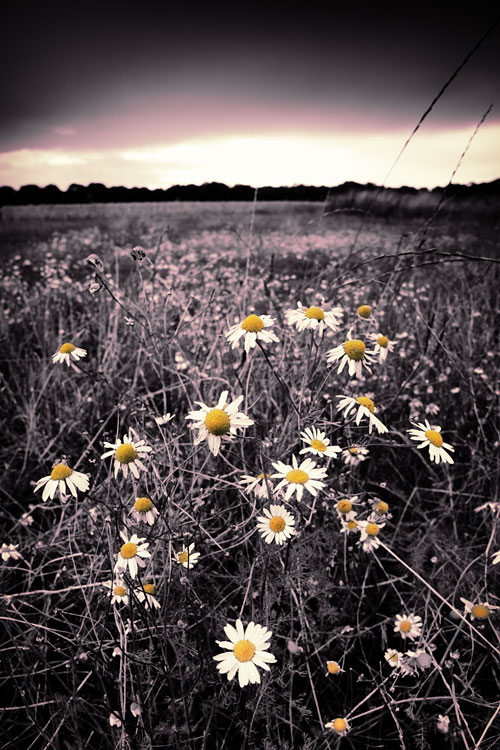 Daisies, Suffolk, by DaveBulow