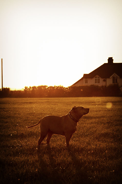 Staffordshire Bull Terrier Fudge Staffy, by DaveBulow
