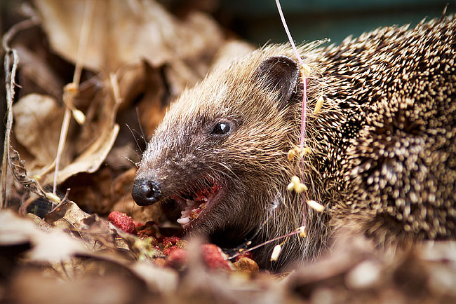 Hedgehog, by DaveBulow
