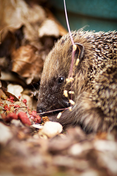 Hedgehog, by DaveBulow