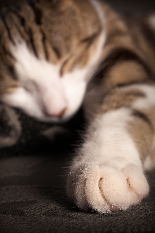 Taffy Paw, Pet Portraiture, by DaveBulow