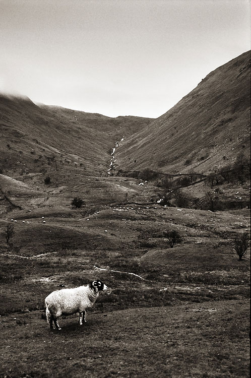 Lone Sheep, Cumbria, by DaveBulow